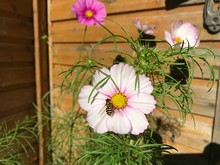 A Large Striped Bee Sits On The Yellow Center Of A Pink Cosmea Flower Against The Background Of An Old Wooden House. Close-up Photo From A Mobile Phone In Natural Daylight