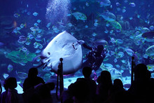 A Scuba Diver Feeding The Huge...