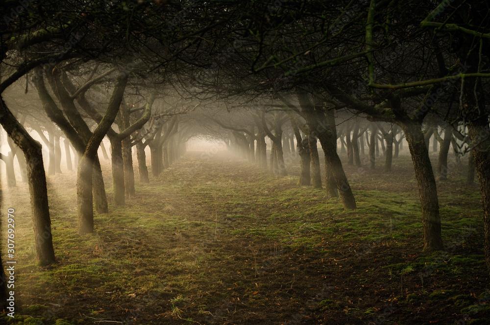 Fototapeta tajemniczy tunel z drzew w sadzie w promieniach słońca