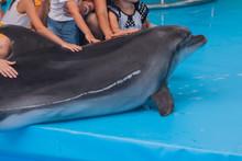 Trained Dolphin In The Aquariu...
