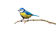 Colorful Bird Blue Tit. Isolated Cute Bird And Branch. White Background. Bird: Eurasian Blue Tit. Cyanistes Caeruleus.