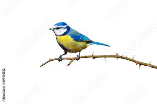 Colorful bird blue tit Wallpaper Mural