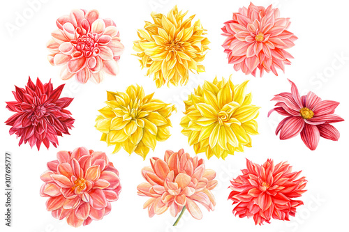 Canvas Print set of beautiful multicolored flower dahlia, botanical painting, watercolor draw