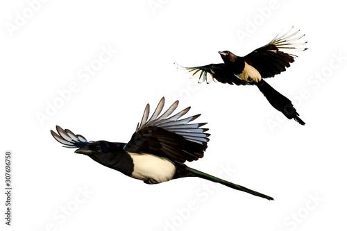 Obraz na plátně Isolated flying bird