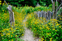 Path Through The Yellow Flowers