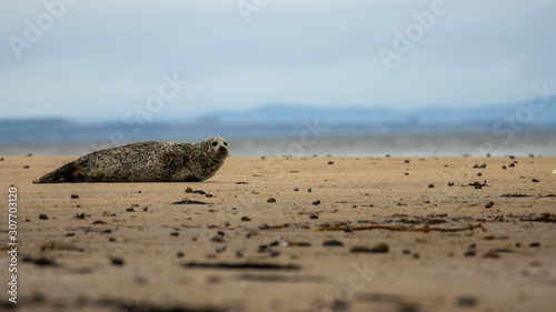 Common Seal, Harbor, Phoca vitulina, resting on the sand with colourful background near findhorn bay in Scotland during December Wallpaper Mural