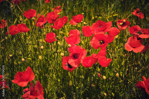 Obraz Mohn (Papaver) - fototapety do salonu