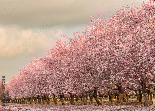 Foto Almond grove of pink blooming trees