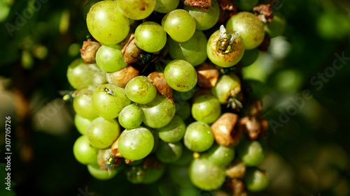 Valokuvatapetti Ripe grapes and ripeness in viticulture, white wine and common green bottle fly Lucilia sericata blowfly or blow flies insect