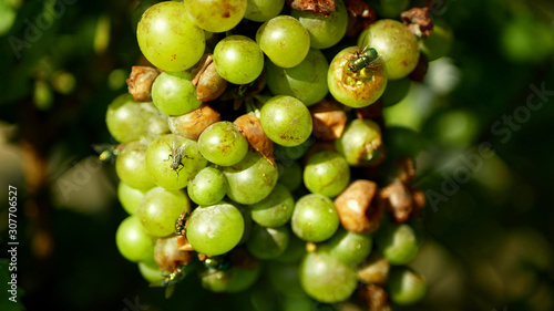 Valokuva  Ripe grapes and ripeness in viticulture, white wine and common green bottle fly Lucilia sericata blowfly or blow flies insect