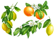 Set Of Branches With Lemons, G...