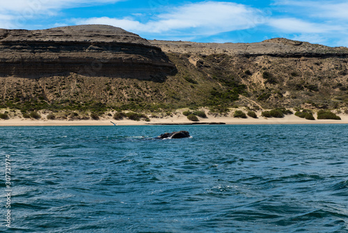 Cuadros en Lienzo  A Southern Right Whale at the Peninsula Valdes in Argentina, South America
