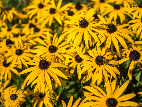Fotografija  Black-eyed Susan flowers in an English country garden