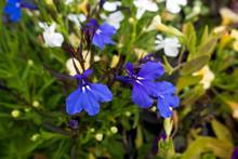 Small Blue Violas Wth Two Whit...