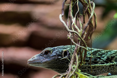 Photo Emerald Tree Monitor (Varanus prasinus) at the Bioparc Fuengirola