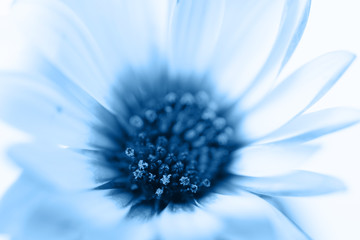 Close up of osteospermum, classic blue background, toned, color of the year 2...