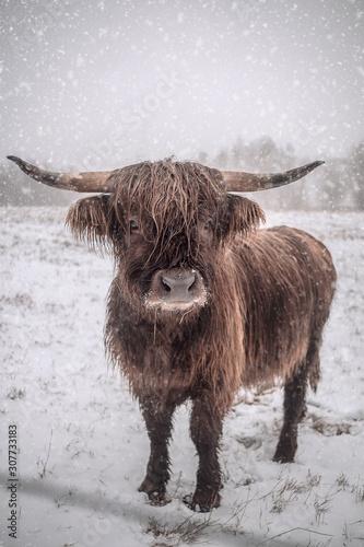 Fototapeta Hochlandrind im Schnee