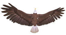 Bald Eagle Floating On White B...