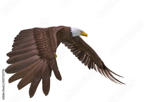 Fotografie, Obraz bald eagle looking down on white background