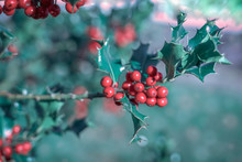 Bright Berries And Boughs With Green Leaves Of Ilex Aquifolium, Traditional Christmas Holly Decor