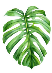 Obraz na Szkle Minimalistyczny Jungle green leaves of monstera creepers on an isolated white background, watercolor illustration, botanical painting