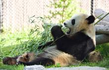 Er Shun Giant Panda Eating Bam...