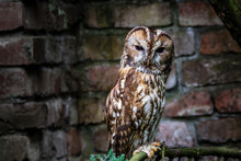 Brown Tawny Owl Strix Aluco Sitting On A Branch In Eckengagen Vogelpark, Germany