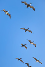 Flying Pod Of Pelicans With A ...
