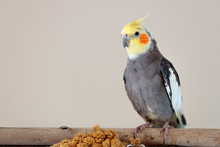 Cockatiel With A Millet Branch...