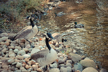 Flock Of Canada Geese On Rocky...