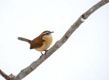 A Small Brown Bird, A Carolina...