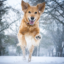 Golden Retriever Jumping In The Snow