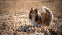 Shetland Sheepdog In The Field