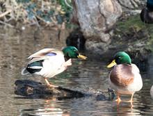 Mandarin And Wood Ducks Join In The Fun With Mallards