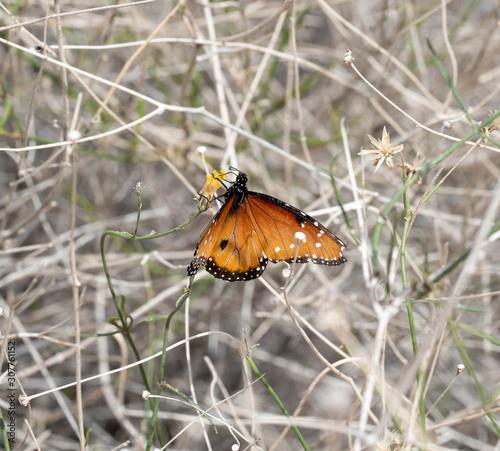 A Monarch Butterfly enjoying a desert plant in the southwest desert