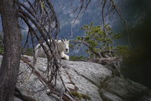 Mountain Goat Sitting On Large Rock Frames By Trees