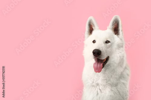 obraz dibond Cute funny dog on color background
