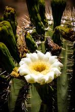 Saguaro Cactus Flower - Saguar...
