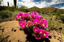 Prickly Pear Cactus Blooming In Saguaro National Park, Tucson, Arizona