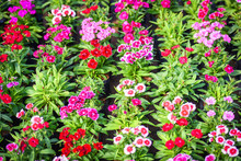 Flower Pattern Nature With Green Leaf - Pink And Red Colorful Dianthus Chinensis Flower Background