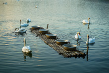 White Swan Swim With Feeding R...