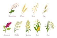 Cereal Plants  Set. Buckwheat,...