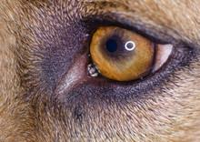 Dog Eye Macro