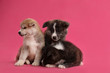 canvas print picture - Cute Akita inu puppies on pink background. Friendly dogs