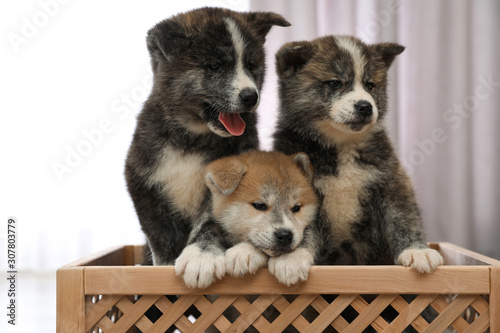 obraz dibond Akita inu puppies in wooden crate indoors. Lovely dogs