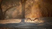 Impala Antelope, Aepyceros Mel...