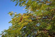 Acacia Tree Branches With Seeds On A Background Of A Blue Sky