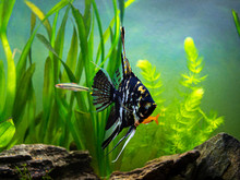 Black And White Angel Fish In A Fish Tank