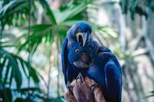 Couple Of Blue Hyacinth Macaw ...