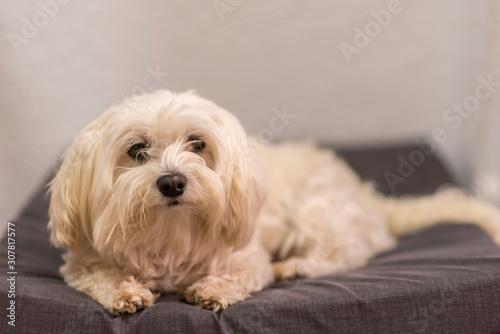 Photo  Maltese bichon in his crib.